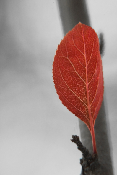 A single leaf burns bright red.